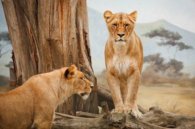 Agence-de-voyage-GrTourisme-Safari-Lion-2